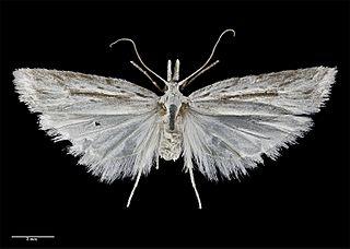 <i>Heterocrossa</i> genus of insects