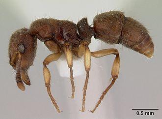 Heteroponerinae - Heteroponera brouni worker