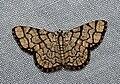 Heterostegane warreni (Geometridae Ennominae Cassymini).jpg