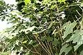 Hibiscus mutabilis 7zz.jpg