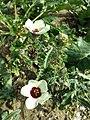 Hibiscus trionum sl74.jpg
