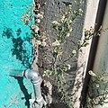 Hierba carnicera (Erigeron bonariensis).jpg
