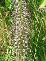 Himantoglossum hircinum Montagnac-sur-Auvignon (1).JPG