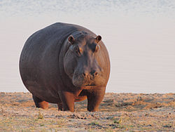 Hippo at dawn.jpg