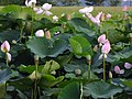 Hiraike-park (平池公園 大賀ハス)兵庫県加東市東古瀬 8146.jpg
