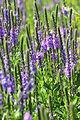 Hoary Vervain (Verbena stricta) on Mixed Grass Prairie of Lacreek NWR (13918328442).jpg