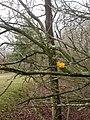 Holmsley, yellow brain fungus - geograph.org.uk - 1139669.jpg