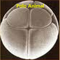 Holobastica polo animal.png