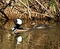 Hooded Mergansers (4751971430).jpg