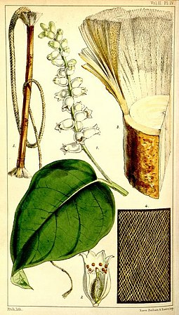 Lagetta lagetto the Lacebark : botanical illustration showing plant with samples of cordage and fabric made from its fibre. Hooker-Lagetta lagetto.jpg