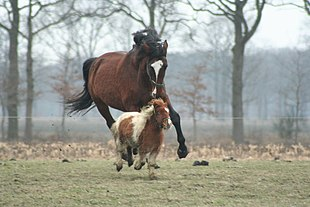A large brown horse is chasing a small horse in a pasture. Size varies greatly among horse breeds, as with this full-sized horse and a miniature horse.