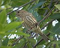 House Finch Carpodacus mexicanus female (38518884291).jpg