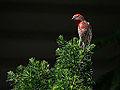 House Finch on Pine Tree (11889111484).jpg
