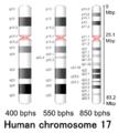 Human chromosome 17 - 400 550 850 bphs.png