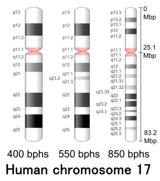 Chromosome 17 (human) - Image: Human chromosome 17 400 550 850 bphs
