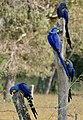 Hyacinth Macaws (Anodorhynchus hyacinthinus) (30721611603).jpg