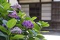 Hydrangea (50050255981).jpg