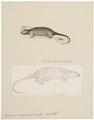 Hydromys chrysogaster - 1700-1880 - Print - Iconographia Zoologica - Special Collections University of Amsterdam - UBA01 IZ20500189.tif