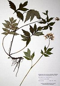 Hydrophyllum virginianum var. virginianum BW-1979-0529-0323.jpg