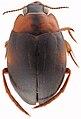 Hygrobia wattsi HabitusDors.jpg