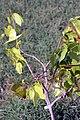 Hymenaea courbaril 8zz.jpg