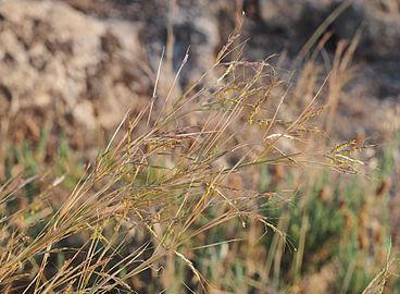 Hyparrhenia hirta 20140811 b.jpg