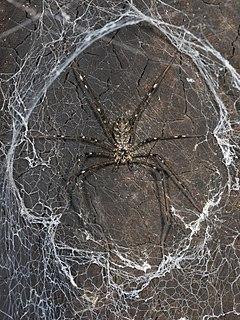 Lampshade spider family of arachnids
