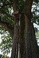 ID 871 Quercus 0022.jpg