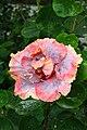 IMG 8160 Hibiscus Photographed by Peak Hora.jpg