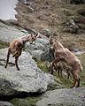 Ibex fighting in the Mattertal in Valais, Switzerland.jpg