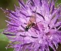 Ichneumonidae. Glypta species (39013993644).jpg