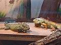 Iguana iguana - Zoo Bratislava (2).jpg