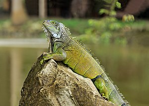 Wild Green Iguana (Iguana iguana) in the Botan...