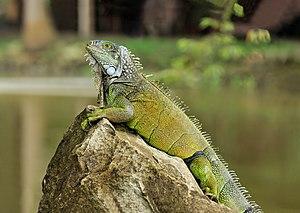 Wild Green Iguana (Iguana iguana) in the Botan...