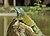 Iguana iguana Portoviejo 04.jpg