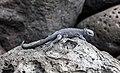 Iguana marina (Amblyrhynchus cristatus), isla Lobos, islas Galápagos, Ecuador, 2015-07-25, DD 47.JPG