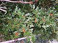 Ilex.aquifolium.3404.JPG