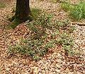 Ilex aquifolium 05 ies.jpg