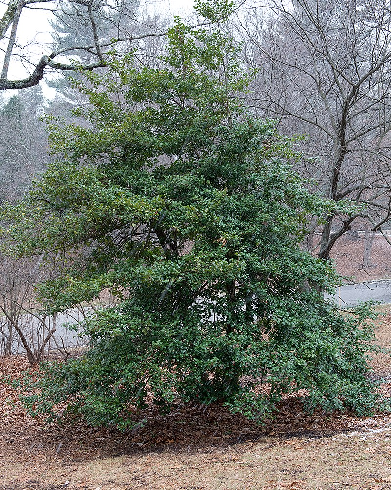 Ilex opaca 'Miss Butler' (Cultivar of American Holly) (31150856154).jpg