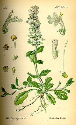 Illustration Ajuga reptans0.jpg