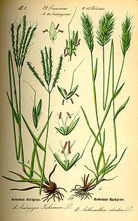 Illustration Anthoxanthum odoratum0