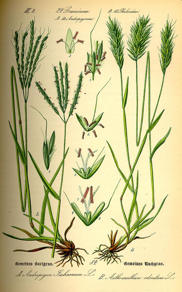Tomka voňavá (Anthoxanthum odoratum)