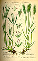 Illustration Anthoxanthum odoratum0.jpg