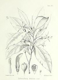S. arborea