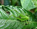 Immature Katydid - Flickr - gailhampshire.jpg