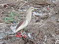 Indian Pond Heron Breeding Plumage.jpg