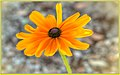 Indian Summer Daisy (120943337).jpeg