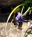Insekt an Traubenhyazinthe 3541.JPG