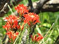 Ipomopsis rubra - Standing Cypress Gilia rubra (8470988667).jpg
