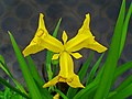 Iris pseudacorus 0004.JPG